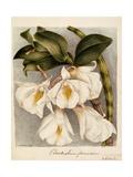 Dendrobium Formosum  C1839