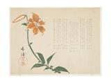 Tiger Lily  C1861-64