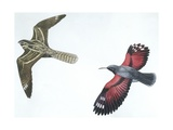 Birds: Nightjar