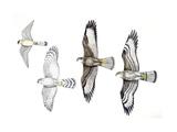 Birds: Common Kestrel (Falconiformes