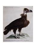 Black Vulture or Lepraiolo (Vultur Leporarius)