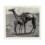 Camels from El-Teb
