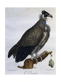 Cinereous Vulture (Aegypius Monachus)