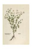Chamomile - Matricaria Chamomilla (Chamaemelum Leucanthemum) by Leonhart Fuchs from De Historia Sti