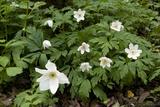 Floral Gigantism in Wood Anemone (Anemone Nemorosa)