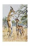 Gerenuk or Giraffe-Necked Antelope (Litocranius Walleri)  Bovidae
