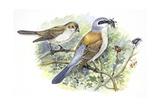 Birds: Passeriformes  Couple of Great Grey Shrike (Lanius Excubitor)