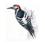 Birds: Piciformes  White-Backed Woodpecker (Dendrocopos Leucotos)