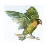 Birds: Psittaciformes  Black-Cheeked Lovebird (Agapornis Nigrigenis)