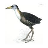 Birds: Gruiformes  White-Striped Forest-Rail (Rallina Leucospila)