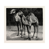 Camels from El-Teb  Soudan (Sudan)  at the Zoological Gardens: as They are Now