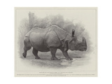 Studies from Life at the Zoological Gardens  the Great Indian Rhinoceros