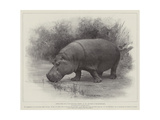 Studies from Life at the Zoological Gardens  the Home of the Hippopotamus