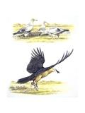 Birds: Falconiformes  Egyptian Vulture (Neophron Percnopterus) Surrounding Animal Skeleton