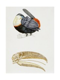 White-Throated Toucan (Ramphastos Tucanus) and its Beak Bone Structure  Ramphastidae