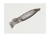 Common Squid or Sea Arrow (Loligo Vulgaris)  Loliginidae  Artwork by Rebecca Hardy