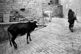 Cows and Woman Walking on Cobbled Street  Jaisalmer  Rajasthan  India  1984