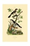 Southern Grey Shrike  1833-39