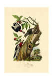Red-Headed Woodpecker  1833-39