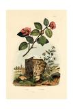 Camellia  1833-39