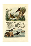 Woodcock  1833-39