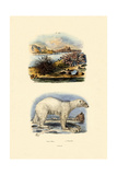Polar Bear  1833-39