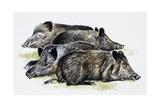Sleeping Wild Boars or Wild Pigs (Sus Scrofa)  Suidae  Drawing