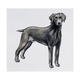 Weimaraner (Canis Lupus)  Canidae  Drawing