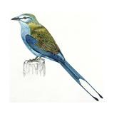 Birds: Coraciiformes  Indian Roller (Coracias Benghalensis)
