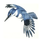 Birds: Coraciiformes  Belted Kingfisher (Megaceryle Alcyon)