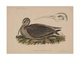 Numenius Tahitiensis (Gmelin)  1855