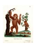 Sumatran Orang-Outang