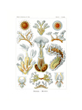 Bryozoa  1899-1904