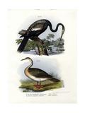 Anhinga  1864