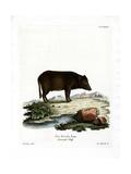 Siamese Wild Boar
