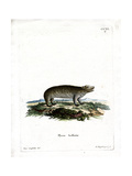 American Hyrax