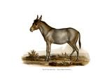 Donkey  1860