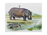 Hippopotamus or Hippo (Hippopotamus Amphibius)  Hippopotamidae