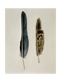 Close-Up of a Cinereous Vulture's Feather with an Owl's Feather