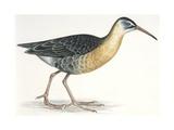Birds: Gruiformes  Water Rail (Rallus Aquaticus)