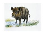 Wild Boar (Sus Scrofa)  Suidae  Drawing