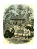 Paris Yaks 1854
