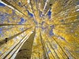 Quaking Aspen Grove in Fall  Colorado