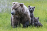 A Grizzly Bear Family  Ursus Arctos Horribilis  Stands in the Sedge Grass