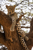 A Leopard  Panthera Pardus  Perches in a Tree