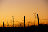 Silhouette of a Meadowlark Perched on a Fence
