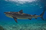 Portrait of a Tiger Shark Swimming at the Sea Floor