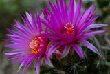Close Up of a Rose Pincushion Flower