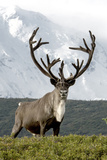 Mount Mckinley Looming over a Caribou  Rangifer Tarandus  in Denali National Park
