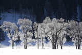 Ice and Snow Highlight Tree Branches in a Snowy Landscape
